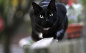 Обои кот, глаза, чёрный, кошак, взгляд