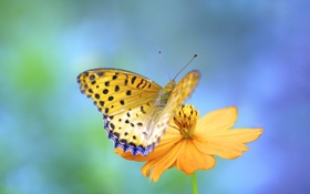 Картинка цветок, оранжевый, фон, бабочка, космея