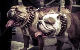 Обои собаки, прогулка, бульдоги