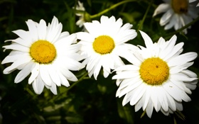 Картинка лето, пчела, весело, ромашки, день