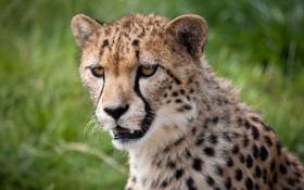 Картинка кошка, морда, гепард