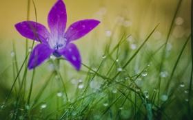Обои капли, цветок, трава, роса, природа, лепестки