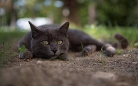 Картинка кошка, лето, глаза, кот, взгляд, макро