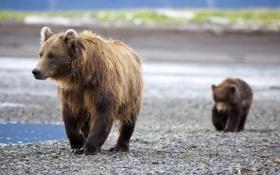 Картинка семья, медведи, пара, медвежонок, детеныш, мама, медведица