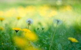 Обои лето, цветы, природа, одуванчики