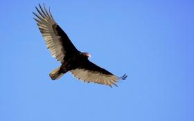 Картинка небо, птица, полёт, гриф
