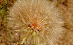 Картинка природа, цветок, растение, былинки, одуванчик