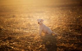Обои поле, свет, собака, щенок