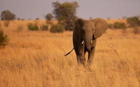 Обои слон, хобот, саванна