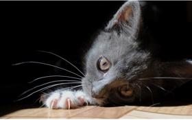 Картинка кошка, глаза, кот, взгляд, кошки, пол, лежит