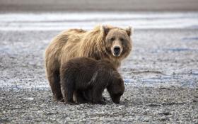 Картинка берег, малыш, семья, медведи, пара, медвежонок, мама