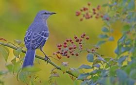 Картинка ягоды, птица, ветка, клюв, хвост