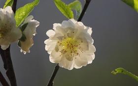 Картинка цветок, дерево, ветка, весна