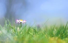 Обои цветок, трава, маргаритки, маргаритка