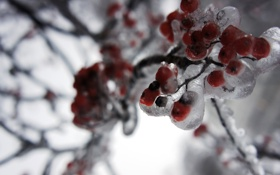 Обои рябина, лед, зима