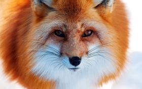 Обои fox, look, fur