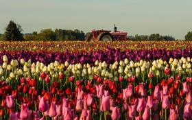Обои поле, цветы, трактор, тюльпаны
