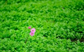 Обои зелень, поле, цветок, листья, природа, розовая, космея