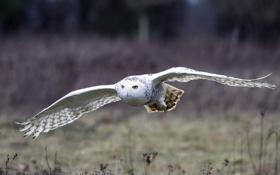 Картинка полет, птица, крылья, Белая сова