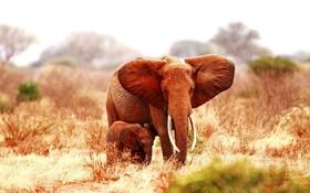Картинка животные, слон, уши, слоненок