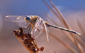 Обои насекомое, стрекоза, макро, боке