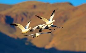 Картинка птицы, полёт, гуси