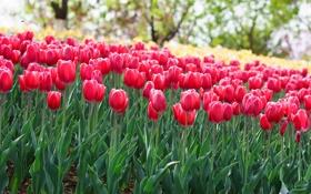 Обои тюльпаны, клумба, розовые, ярко, весна, цветы