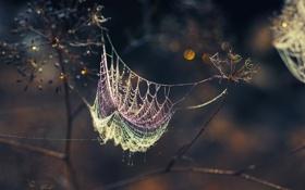 Обои капли, роса, зонтик, паутина, сухоцветы
