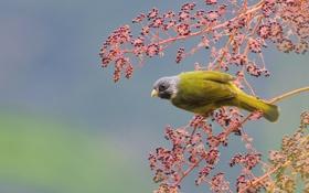 Обои ягоды, дерево, птица, ветка, желтая