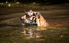 Картинка кошка, тигр, купание, водоём, плывёт