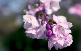 Картинка весна, цветение, лепестки, цвета, цвет, розовый, сиреневый