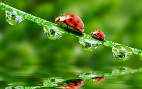 Обои вода, капли, отражение, water, божьи коровки, травинка, drops