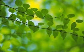 Обои зелень, листья, ветка, весна