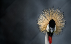 Картинка взгляд, птица, боке, венценосный журавль