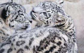 Картинка кошка, взгляд, котенок, ирбис, снежный барс, ©Tambako The Jaguar