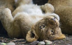 Картинка кошка, взгляд, морда, лев, детёныш, котёнок, львёнок
