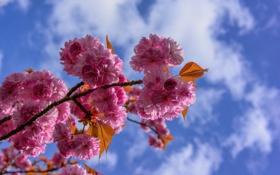 Обои облака, небо, весна, сад, лепестки, ветка, цветы