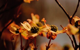 Обои цветы, природа, macro, dogwoods in the waning light