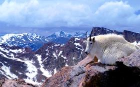 Обои шерсть, Колорадо, рога, США, горный козел, гора Эванс