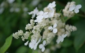 Обои листья, цветы, белые, бутоны, кустарник, гортензия, соцветие