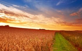 Обои облака, колосья, трава, небо, солнце, поле, пшеница