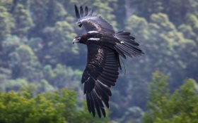 Обои крылья, полёт, Клинохвостый орёл