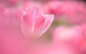 Картинка цветок, розовый, тюльпан, размытость