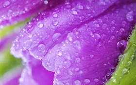 Картинка violet, роса, water, лепестки, beauty, тюльпаны, bright