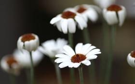 Картинка лето, цветы, ромашки, белые, полевые