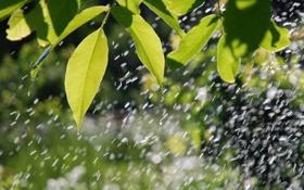 Обои зелень, листья, дождь, мокрые, на ветке