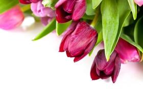 Обои букет, тюльпаны, белый фон, розовые, бордовые