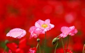 Обои поле, field flowers, цветы, Maki, маки