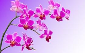 Обои орхидея, лепестки, ветка, макро