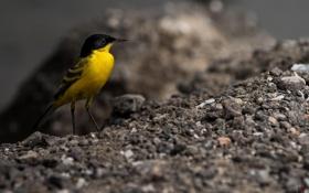 Обои макро, земля, птица, птичка, желтая